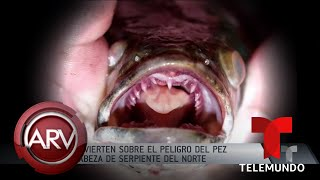 Piden matar a peligroso pez con cabeza de serpiente en aguas de EEUU | Al Rojo Vivo | Telemundo