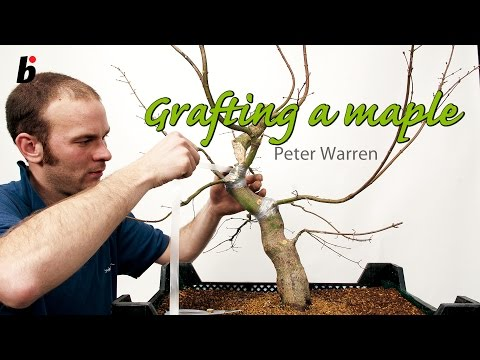 PETER WARREN FIELD MAPLE GRAFTING