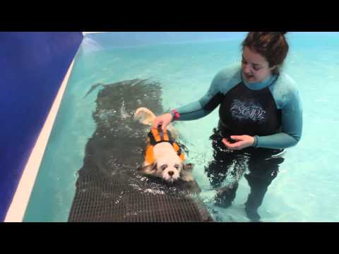 Molly blue eyed lhasa apso goes swimming at paddling paws dog hyrotherapy session 1
