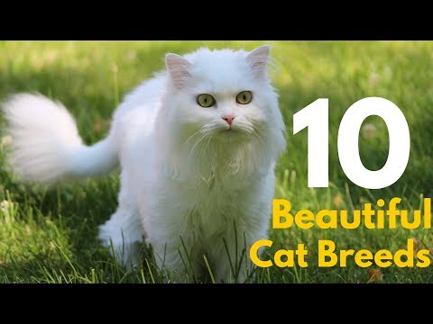 Top 10 Most Cutest Domestic Cat Breeds in the World || Beautiful cats