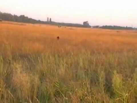 Irish setter & English pointer on field (point on quail)