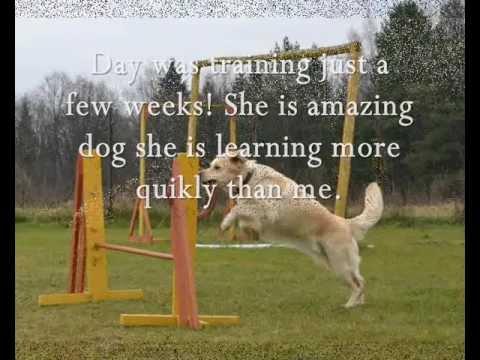 Golden Retriever Agility Training YouTube - Golden retriever obedience competition fail