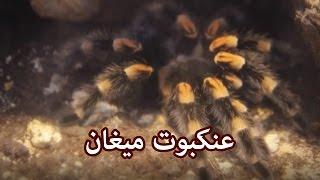 حيوانات - عنكبوت ميغان