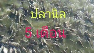 """หลังจาก""""พายุโนอึล"""" น้ำเต็มบ่อ ปลานิลรุ่นที่ 3 ปล่อย 10000 ตัว ระยะ 5 เดือน"""