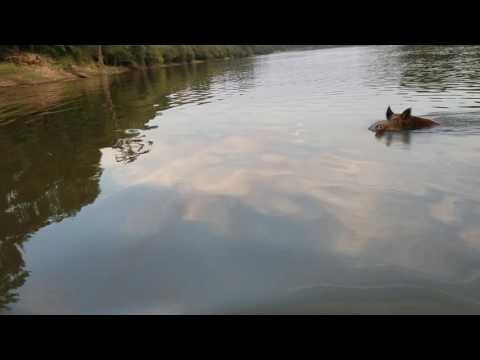 Wild boar swimming the ouachita river.