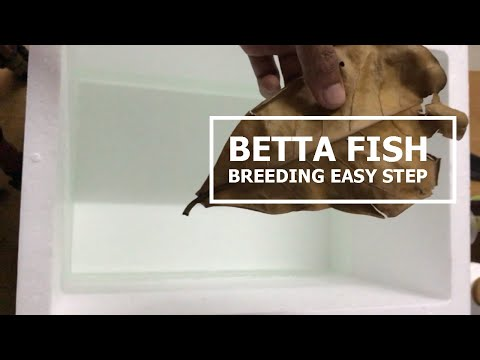 Betta Fish Breeding Tank Setup. Easy step for beginner.