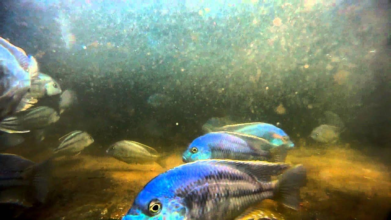 帝王鯛 Chilotilapia rhoadesii @ 【AsirFish】 阿賜熱帶魚繁殖場 :: 痞客邦
