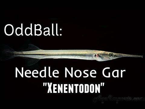 OddBall: Needle Nose Gar Feeding
