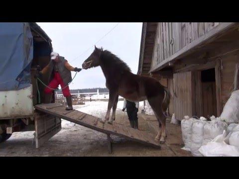 Погрузка лошади в коневоз Газель.