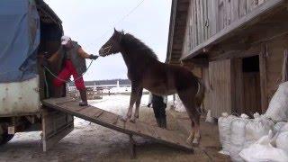 """Погрузка лошади в коневоз """"Газель""""."""