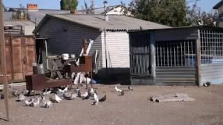 Hиколаевские голуби  ( Голуби Василия Рузманова ( п.Степное , Россия ))