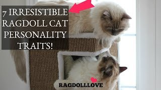 7 Irresistible Ragdoll Cat Personality Traits (That'll Make You Want One!)