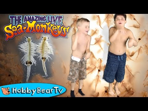 The Amazing Live Sea Monkeys! HobbyKids Swim with Shrimp HobbyBearTV