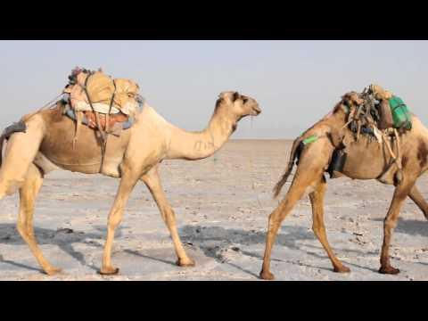DANAKIL DESERT CAMELS CARAVANS JAN 2012 (beni nissim)