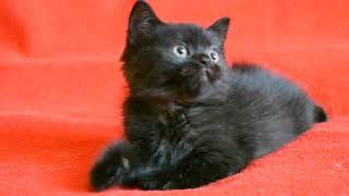 Купить черного шотландского котенка. Котята для Вас!