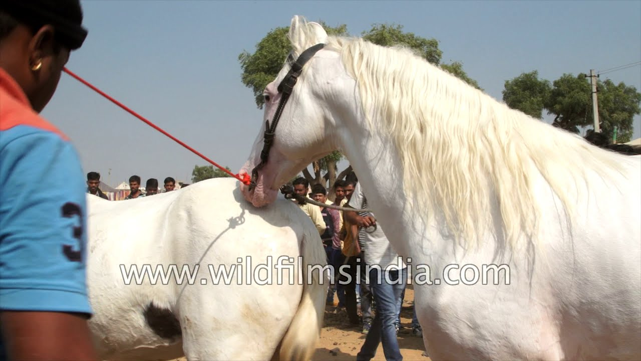 Download Stallion breeding: Prancing horse has a procreative rendezvous in Rajasthan: Viewer discretion