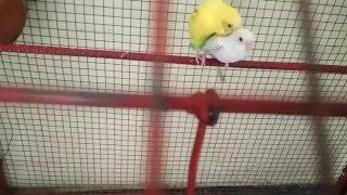 Parakeets mating, budgies mating