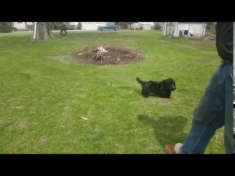 Maggie Scottie terrier baby