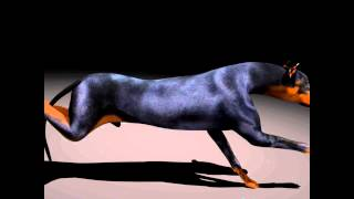 Doberman Animation Test