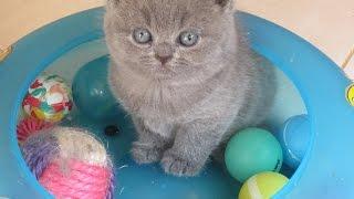 Видео британских котят.(Питомник британских кошек Silvery Snow/ сайт http://www.snow.alvas.ru Помет британских котят от 5 июля 2012 (полтора месяца), 2013-02-12T11:13:59.000Z)