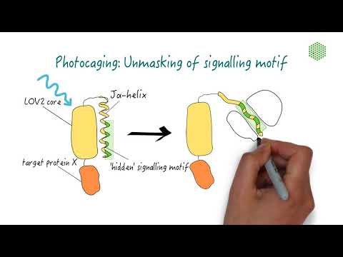 Exploring different optogenetic systems: Photocaging