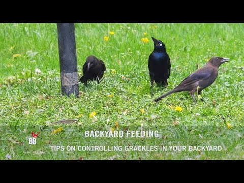 BBN 144 - Controlling Grackles In Your Backyard