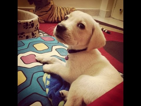 Labrador Puppy first day at home