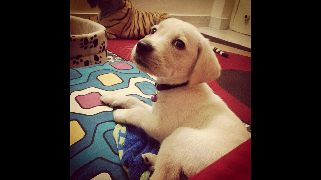 Labrador Puppy First Day At Home Youtube