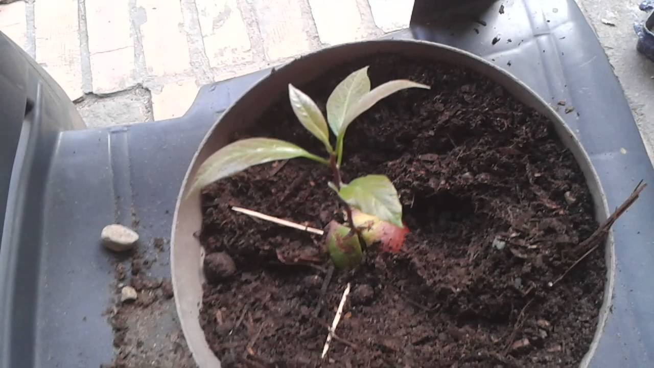 how to plant an avocado seedling the easy way youtube. Black Bedroom Furniture Sets. Home Design Ideas