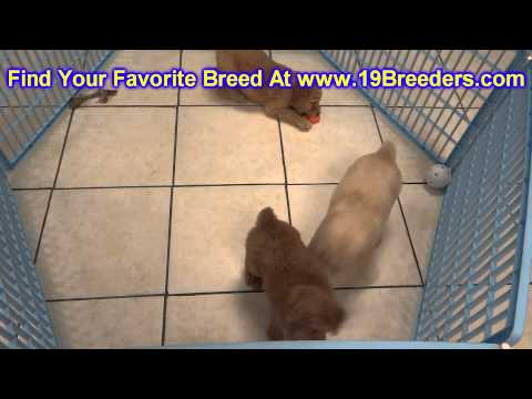 GoldenDoodle, Puppies, For, Sale, In, Hartford, Connecticut, County, CT, Fairfield, Litchfield, Midd