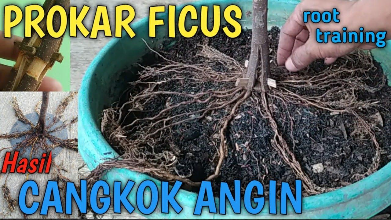 PROGRAM AKAR (PROKAR) FICUS HASIL CANGKOK ANGIN PECAH BATANG TANPA MEDIA // ROOT TRAINING ON FICUS