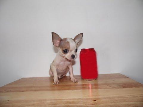 Chihuahua de Bolsillo Hembra Micro Bolsillo Tabacoиз YouTube · Длительность: 1 мин32 с  · Просмотры: более 1000 · отправлено: 14.10.2014 · кем отправлено: Chihuahuas de Bolsillo