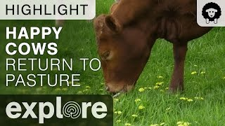 Happy Cows Return To Pasture - Farm Sanctuary - Live Cam Highlight