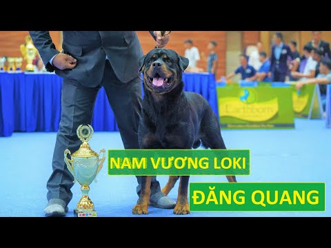 Rottweiler đẹp VN Loki thắng chó đẹp tiền tỷ Thái Lan| Rottweilers win Best In Show G2