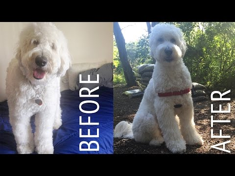 Decker Gets A Haircut: Goldendoodle At Home Puppy Cut (Tutorial?)