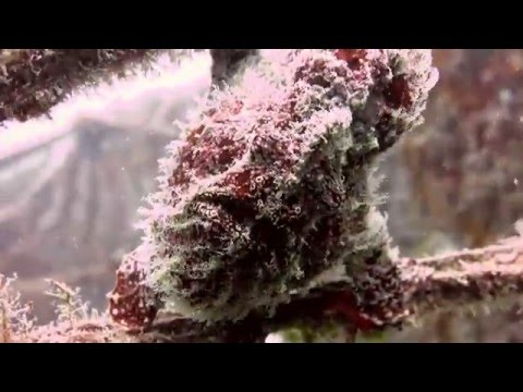 Frogfish Feeding - featuring a Giant Frogfish