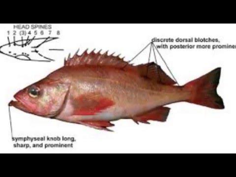 Pacific Ocean Perch