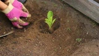 How to Plant Lettuce Heads : Vegetable Gardening