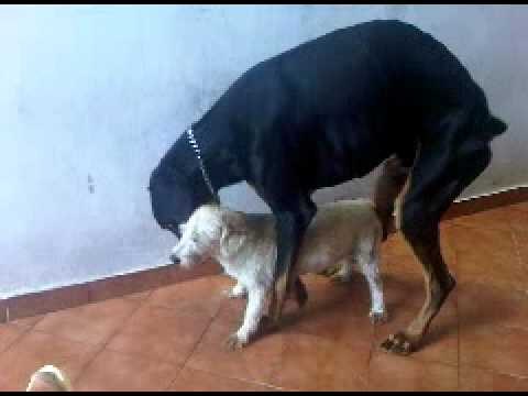 Big dogs mating with little dogs videos