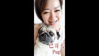 狗狗特辑 EP 3 巴哥犬 Pug | 哈巴狗 | 【懒惰易胖】| 【像孩子一样的狗狗】 | 【智商排名第57位的狗狗】