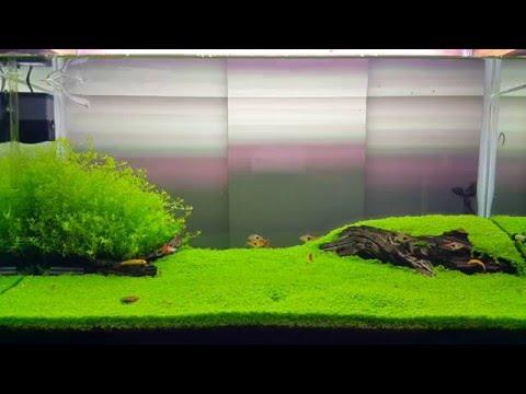 Cuba - Hemianthus callitrichoides plant aquarium - 90. 45. 45 cm