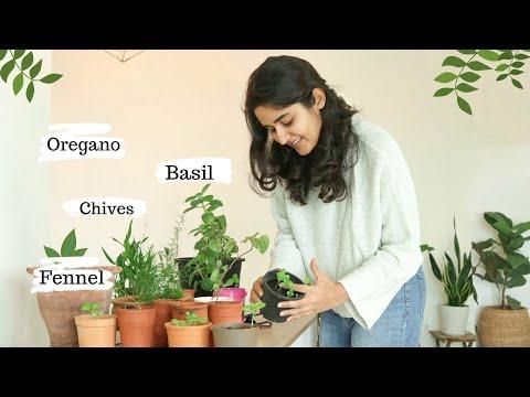 Growing Italian Herbs In India- Basil, Oregano, Chives, Fennel | Success & Failure