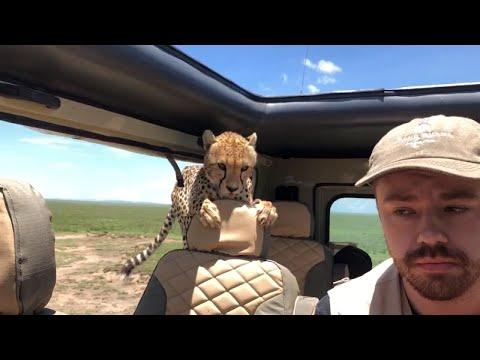 Tourist Turns Into Statue as Cheetah Invades Safari Vehicle