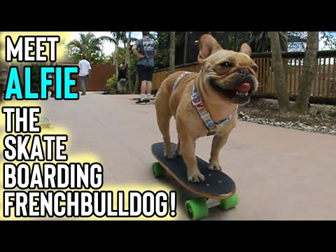 Skateboarding French bulldog ( Alfie The Fawn Frenchie )