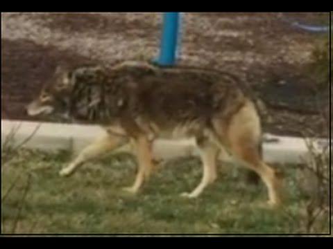 Coyote at Fairchild Park in Elk Grove Village, IL