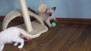 Смешные котята балинезы