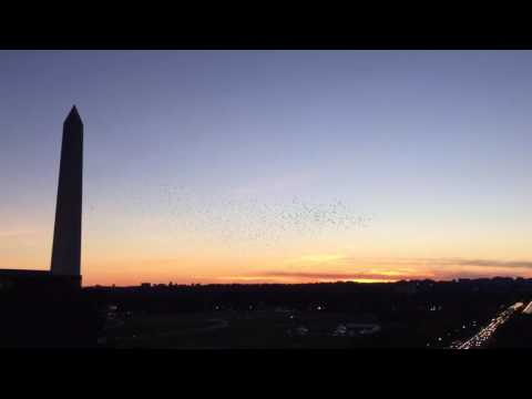 Starlings over the National Mall