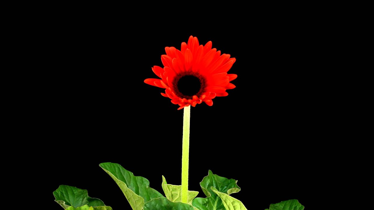 Time lapse red gerbera daisy flower blooming youtube time lapse red gerbera daisy flower blooming izmirmasajfo