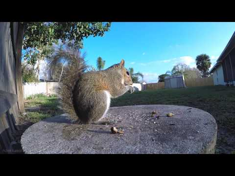 2 Hours of Eastern Gray Squirrels eating Up close compilation