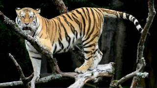 Siberian Tiger Picture -- an Informational Video Thumbnail